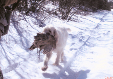 Gracie Retrieving a Pheasant